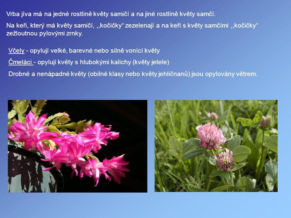 """Vrba jíva má na jedné rostlině květy samičí a na jiné rostlině květy samčí. Na keři, který má květy samičí,,,kočičky"""" zezelenají a na keři s květy sam"""