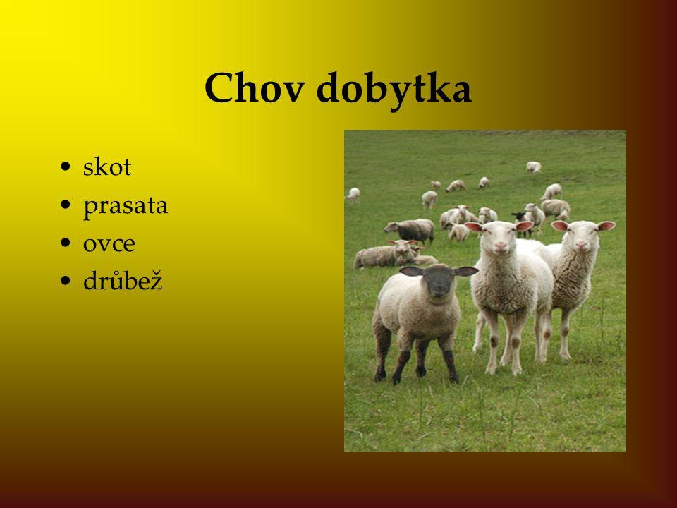 Chov dobytka skot prasata ovce drůbež