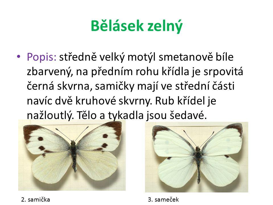 Bělásek zelný Popis: středně velký motýl smetanově bíle zbarvený, na předním rohu křídla je srpovitá černá skvrna, samičky mají ve střední části navíc dvě kruhové skvrny.