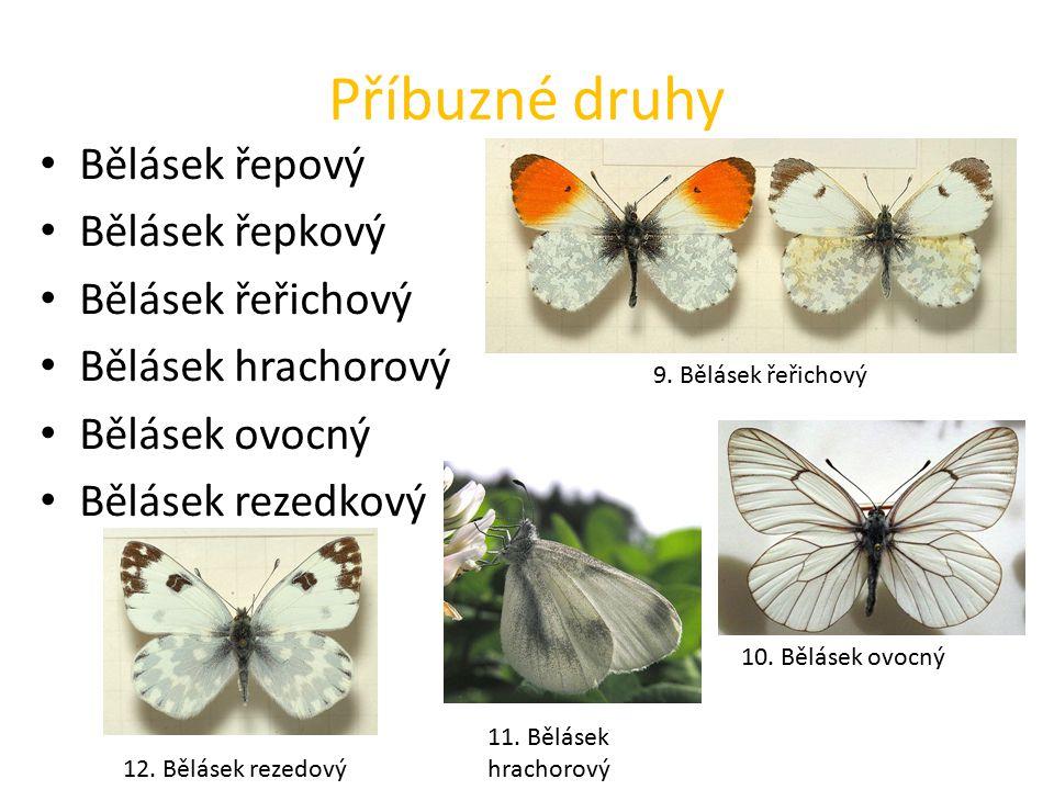 Příbuzné druhy Bělásek řepový Bělásek řepkový Bělásek řeřichový Bělásek hrachorový Bělásek ovocný Bělásek rezedkový 9.