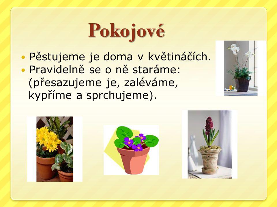 Pokojové Pěstujeme je doma v květináčích. Pravidelně se o ně staráme: (přesazujeme je, zaléváme, kypříme a sprchujeme).