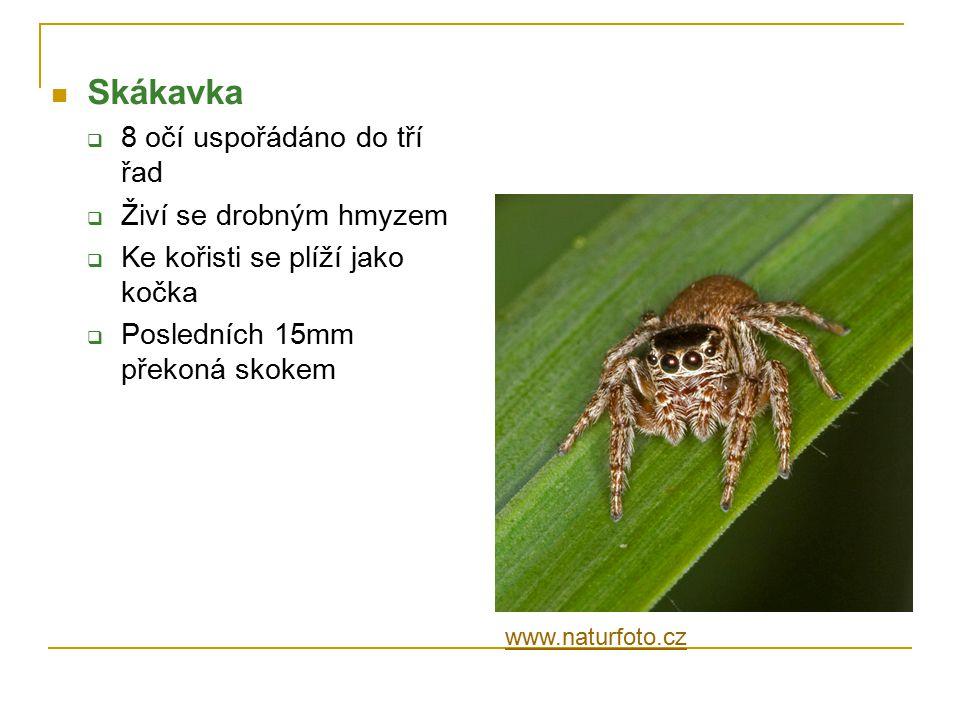Skákavka  8 očí uspořádáno do tří řad  Živí se drobným hmyzem  Ke kořisti se plíží jako kočka  Posledních 15mm překoná skokem www.naturfoto.cz