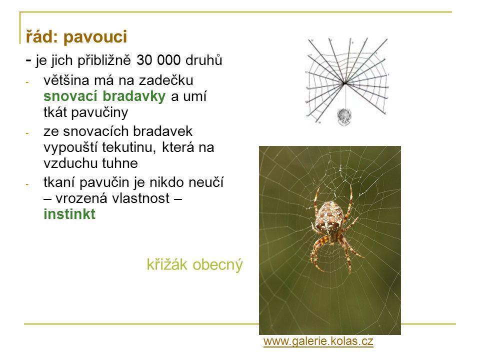 řád: pavouci - je jich přibližně 30 000 druhů - většina má na zadečku snovací bradavky a umí tkát pavučiny - ze snovacích bradavek vypouští tekutinu,