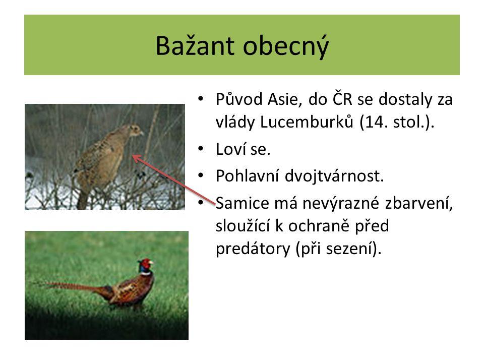 Křepelka polní Stěhovavý pták, v říjnu odlétá do s.
