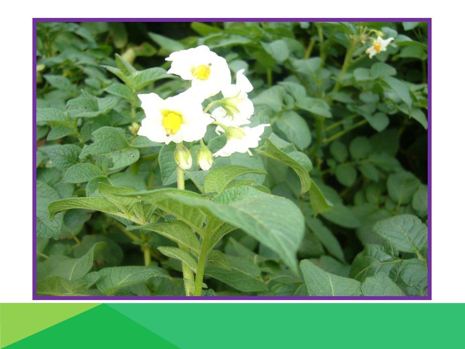 Rostliny bramboru : konec měsíce dubna května