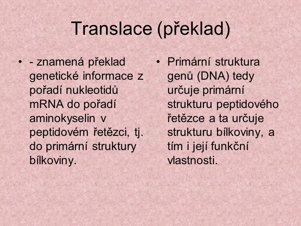 Translace (překlad) - znamená překlad genetické informace z pořadí nukleotidů mRNA do pořadí aminokyselin v peptidovém řetězci, tj. do primární strukt