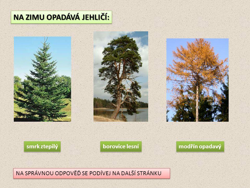 NA ZIMU OPADÁVÁ JEHLIČÍ: smrk ztepilý borovice lesní modřín opadavý NA SPRÁVNOU ODPOVĚĎ SE PODÍVEJ NA DALŠÍ STRÁNKU