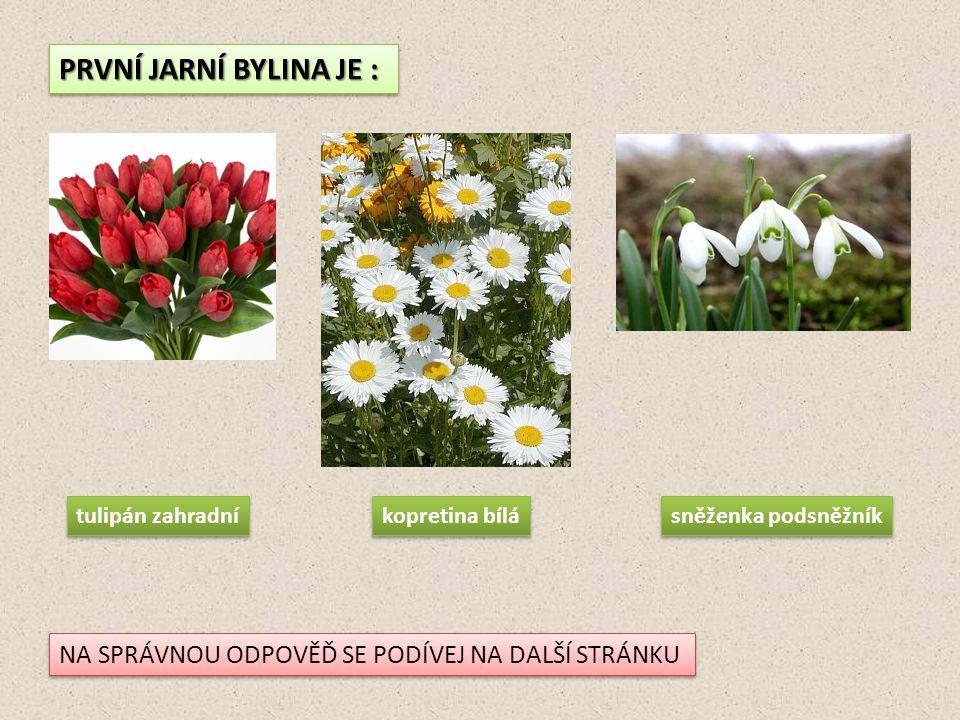 PRVNÍ JARNÍ BYLINA JE : NA SPRÁVNOU ODPOVĚĎ SE PODÍVEJ NA DALŠÍ STRÁNKU tulipán zahradní kopretina bílá sněženka podsněžník