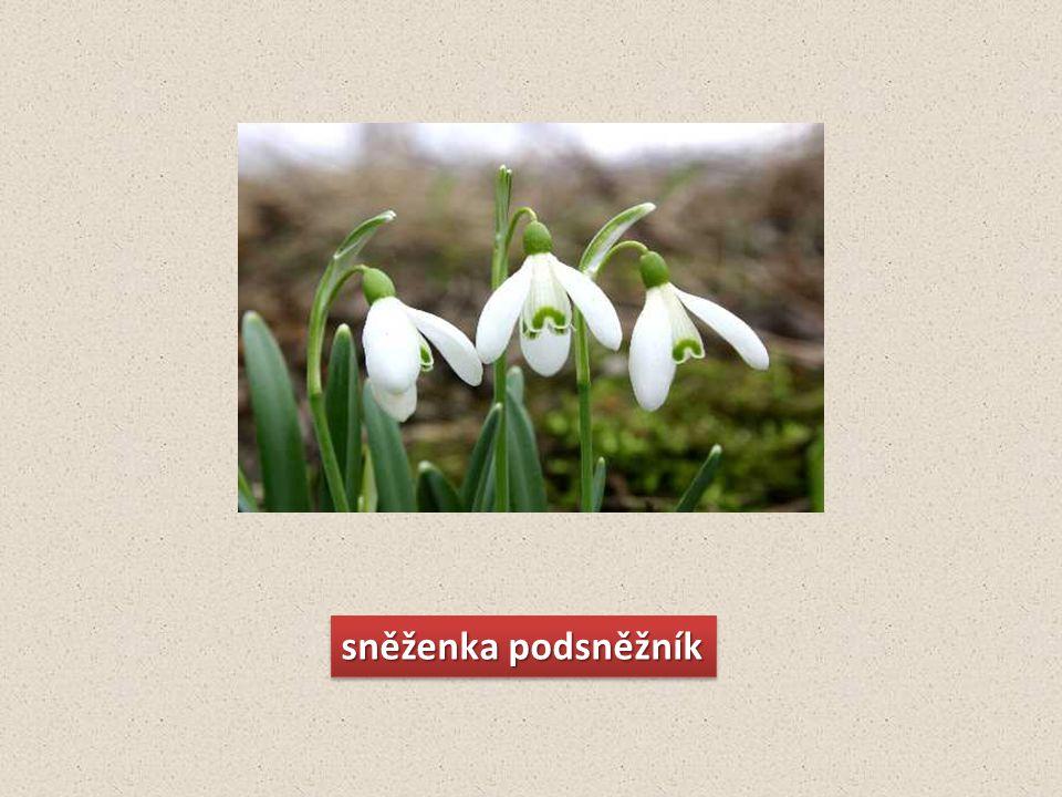 ZDROJE http://www.biomonitoring.cz/druhy.php?druhID=250 http://www.novaline.cz/index.php?page=5&pages=204&detail=1355&seo=tulipan-cerveny-40cm http://www.garten.cz/a/cz/3919-leucanthemum-kopretina/ http://strom.yc.cz/briza.htm http://www.about-garden.com/forum/f1/en/7124/ http://www.treepicturesonline.com/apple-tree-2.jpg http://allthingsd.com/20091019/wall-street-hopes-apple-doesnt-fall-far-from-the-tree/ http://www.garten.cz/a/cz/3590-pyrus-sp.-okrasna-hrusen/ http://zahrada-relax.blog.cz/rubrika/ovoce http://botanika.wendys.cz/kytky/foto.php?161 http://visitnormandy.wordpress.com/2010/04/26/lily-of-the-valley-may-day-in-france/ http://marie.bloguje.cz/306833-sobota-aneb.php http://www.polenokoleno.estranky.cz/fotoalbum/jehlicnate-stromy/smrk.-.html http://www.tetakaterina.cz/61-keltsky-horoskop/332-borovice--houzevnata-v-a-v-lasce-zranitelna.html http://www.wmap.cz/opk/vmp/images/ros/jpg/modrin_opadavy_01.jpg http://www.wmap.cz/opk/vmp/images/ros/jpg/mod%C5%99%C3%ADn%20opadav%C3%BD%201.jpg http://cs.wikipedia.org/wiki/Soubor:Paris_quadrifolia_2011_G1.jpg http://picasaweb.google.com/nastramp2/TISSvazProOchranuPrirody1958#5520534832255768242 http://www.jynx-t.net/priroda/hluchavka-bila-73138-0-1835008.html