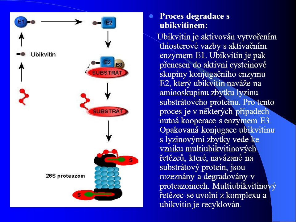 Antigenní prezentace Proteazomy mohou syntetizovat krátké peptidové fragmenty => prezentovány na povrchu lymfocytů v MHC komplexu glykoproteinů Hrají důležitou roli ve schopnosti buněk reagovat na stresové situace V buňkách imunitního systému jsou některé β podjednotky nahrazeny gamma-interferon indikačními homology, které zvyšují efektivnost degradace v proteazomech (struktura téměř stejná)