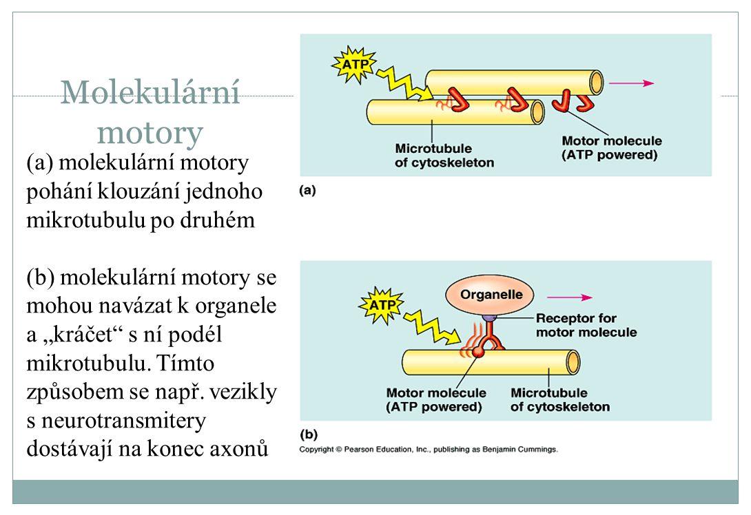 """Molekulární motory (a) molekulární motory pohání klouzání jednoho mikrotubulu po druhém (b) molekulární motory se mohou navázat k organele a """"kráčet"""""""