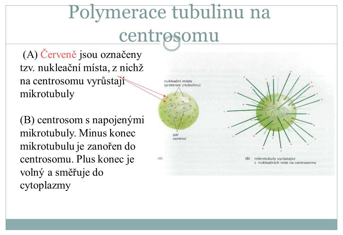 Polymerace tubulinu na centrosomu (A) Červeně jsou označeny tzv. nukleační místa, z nichž na centrosomu vyrůstají mikrotubuly (B) centrosom s napojený