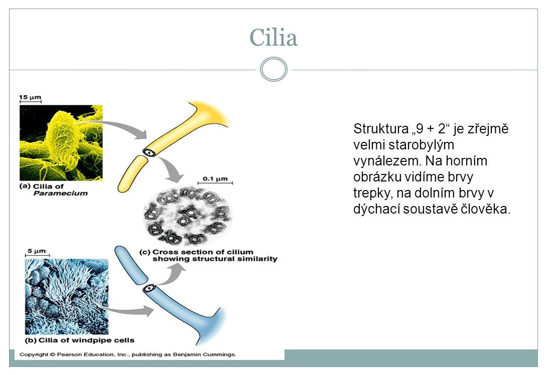 """Cilia Struktura """"9 + 2"""" je zřejmě velmi starobylým vynálezem. Na horním obrázku vidíme brvy trepky, na dolním brvy v dýchací soustavě člověka."""