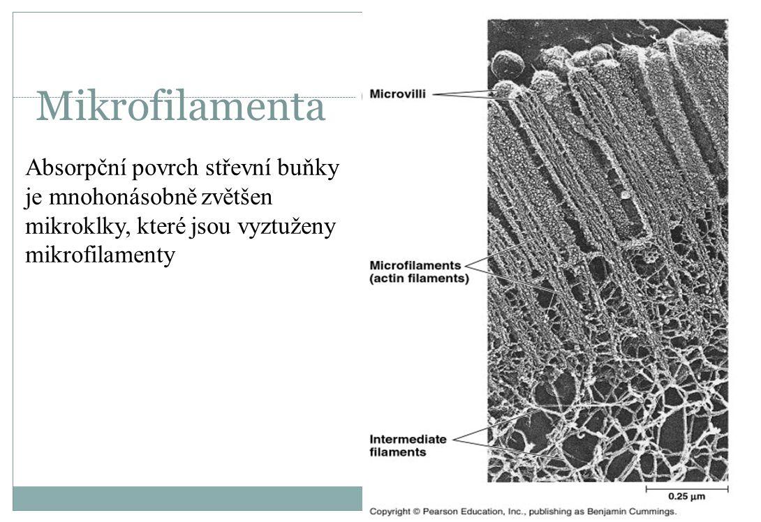 Mikrofilamenta Absorpční povrch střevní buňky je mnohonásobně zvětšen mikroklky, které jsou vyztuženy mikrofilamenty