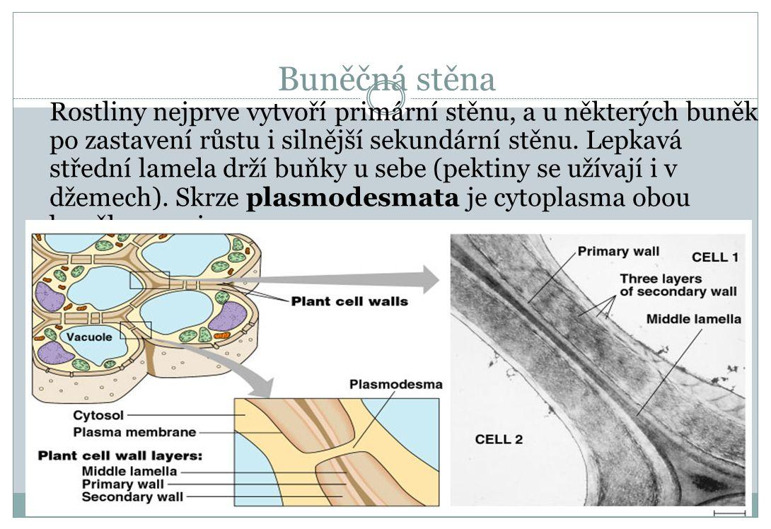 Buněčná stěna Rostliny nejprve vytvoří primární stěnu, a u některých buněk po zastavení růstu i silnější sekundární stěnu. Lepkavá střední lamela drží