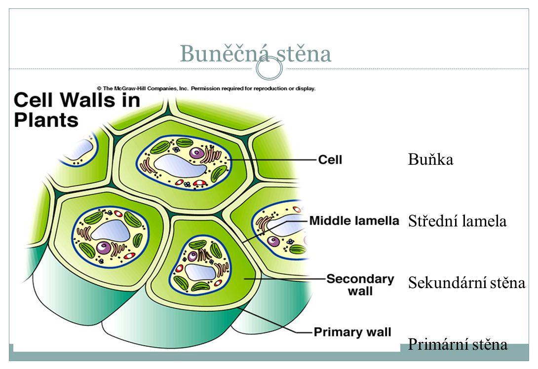 Buněčná stěna Buňka Střední lamela Sekundární stěna Primární stěna
