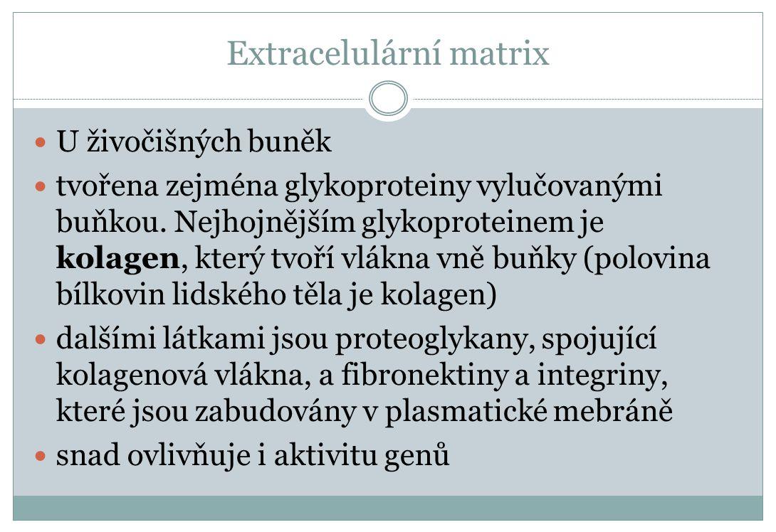 Extracelulární matrix U živočišných buněk tvořena zejména glykoproteiny vylučovanými buňkou. Nejhojnějším glykoproteinem je kolagen, který tvoří vlákn