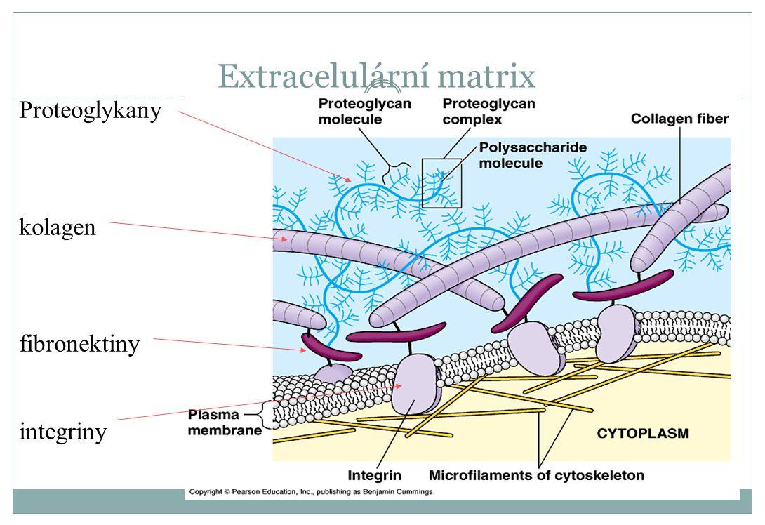 Extracelulární matrix Proteoglykany kolagen fibronektiny integriny