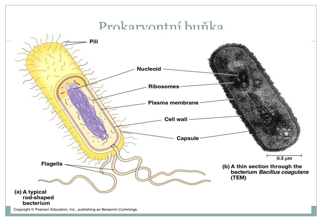 Prokaryontní buňka
