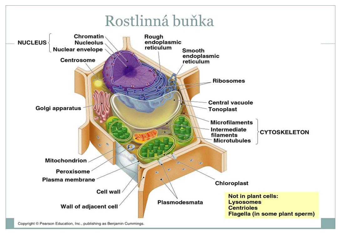 Rostlinná buňka
