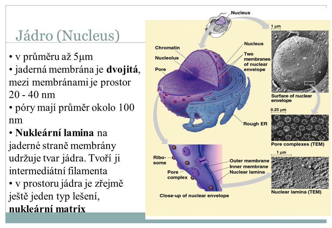 Jádro (Nucleus) v průměru až 5μm jaderná membrána je dvojitá, mezi membránami je prostor 20 - 40 nm póry mají průměr okolo 100 nm Nukleární lamina na