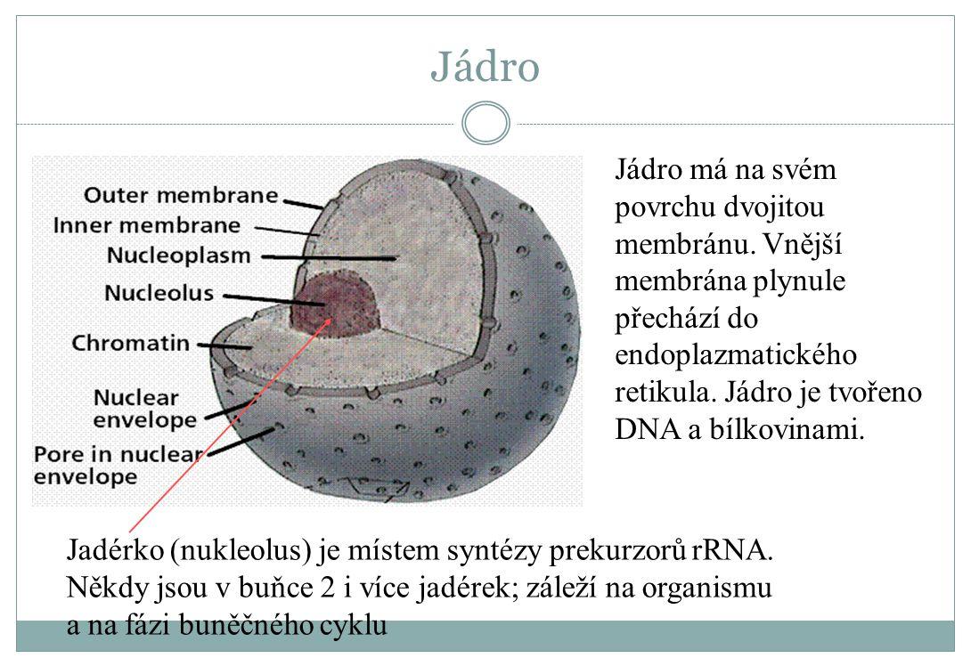 Jádro Jádro má na svém povrchu dvojitou membránu. Vnější membrána plynule přechází do endoplazmatického retikula. Jádro je tvořeno DNA a bílkovinami.