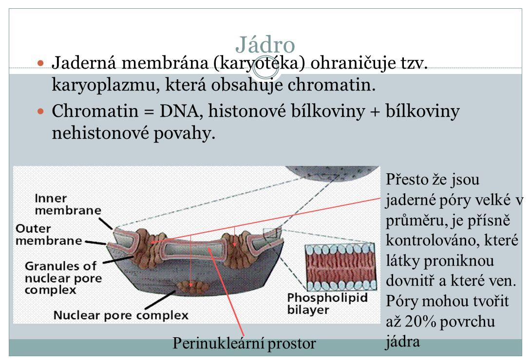 Jádro Jaderná membrána (karyotéka) ohraničuje tzv. karyoplazmu, která obsahuje chromatin. Chromatin = DNA, histonové bílkoviny + bílkoviny nehistonové