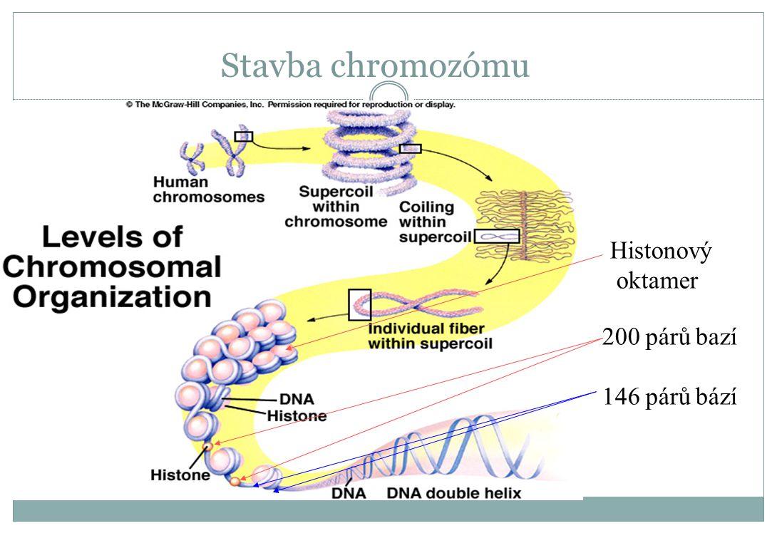 Stavba chromozómu 200 párů bazí 146 párů bází Histonový oktamer