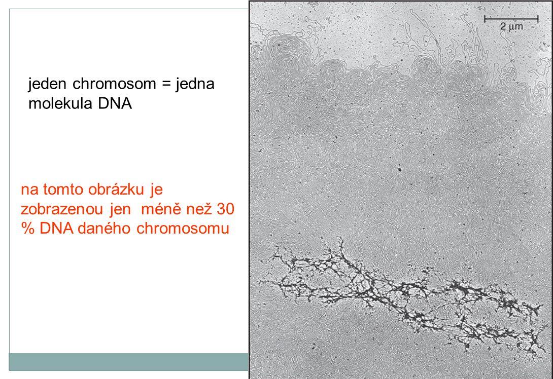 na tomto obrázku je zobrazenou jen méně než 30 % DNA daného chromosomu jeden chromosom = jedna molekula DNA