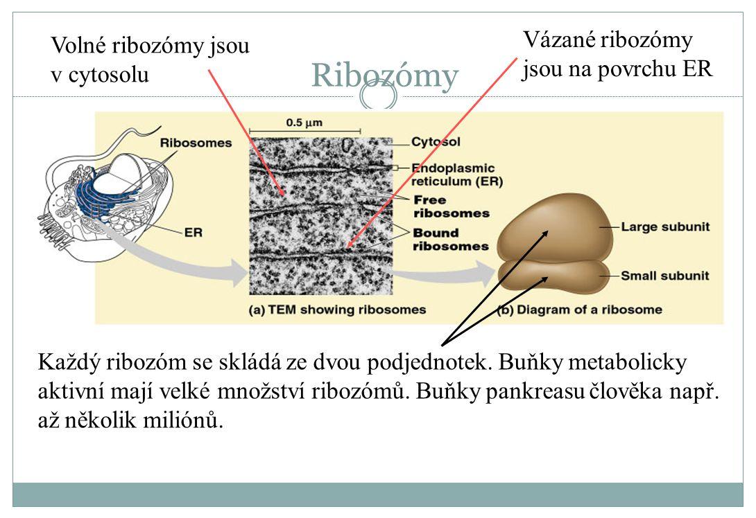 Ribozómy Každý ribozóm se skládá ze dvou podjednotek. Buňky metabolicky aktivní mají velké množství ribozómů. Buňky pankreasu člověka např. až několik