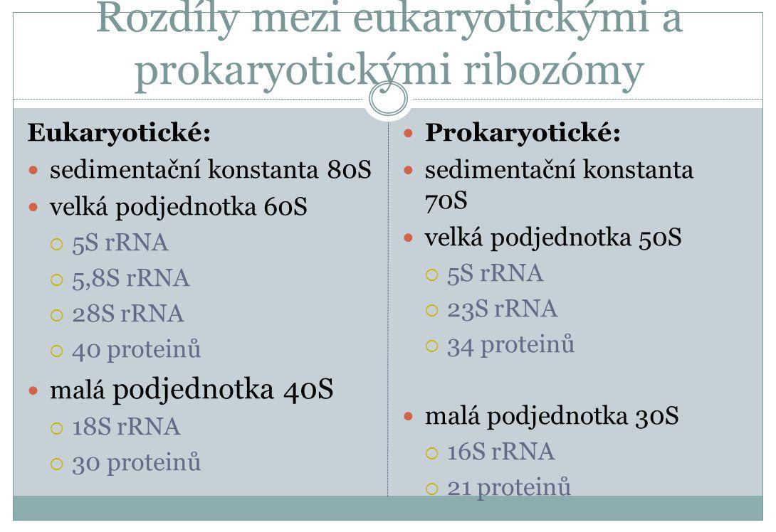 Rozdíly mezi eukaryotickými a prokaryotickými ribozómy Eukaryotické: sedimentační konstanta 80S velká podjednotka 60S  5S rRNA  5,8S rRNA  28S rRNA