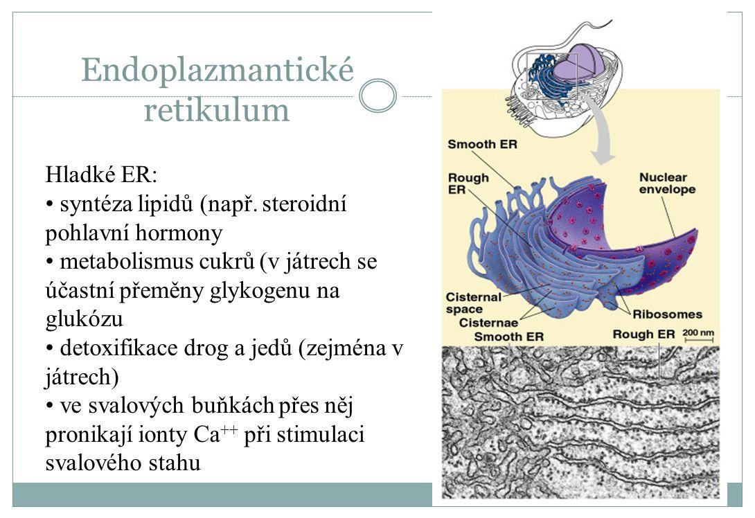 Endoplazmantické retikulum Hladké ER: syntéza lipidů (např. steroidní pohlavní hormony metabolismus cukrů (v játrech se účastní přeměny glykogenu na g