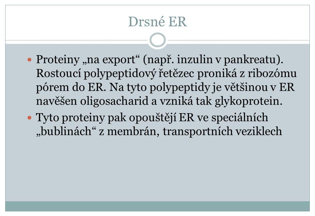 """Drsné ER Proteiny """"na export"""" (např. inzulin v pankreatu). Rostoucí polypeptidový řetězec proniká z ribozómu pórem do ER. Na tyto polypeptidy je větši"""