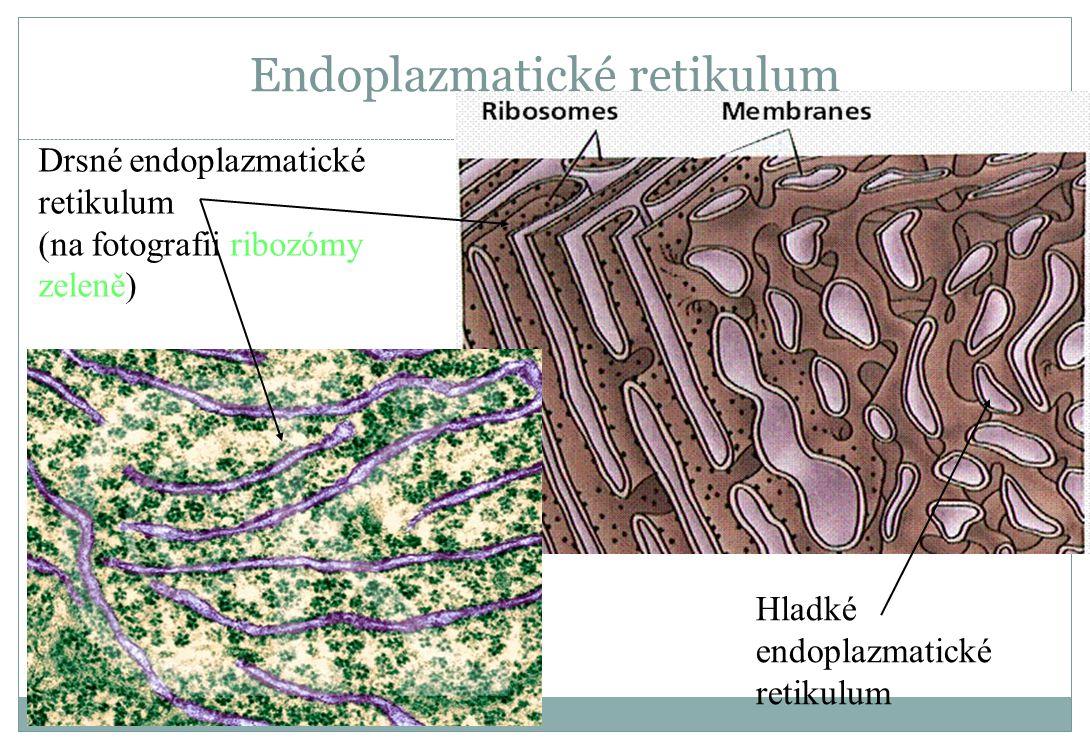 Endoplazmatické retikulum Drsné endoplazmatické retikulum (na fotografii ribozómy zeleně) Hladké endoplazmatické retikulum