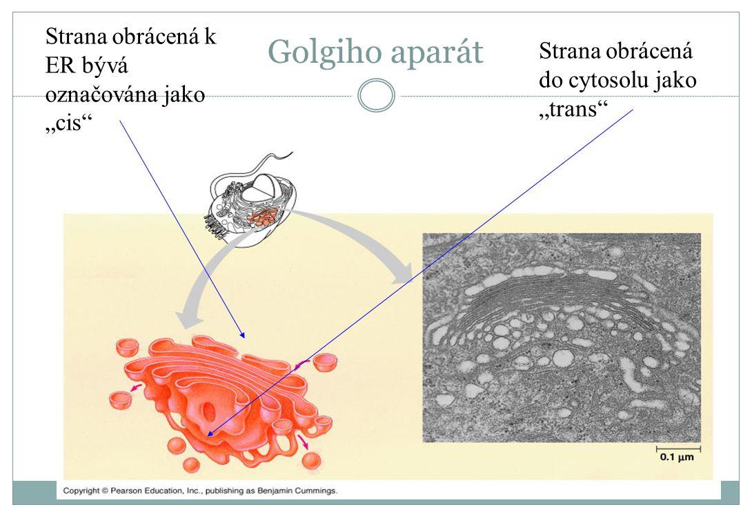 """Golgiho aparát Strana obrácená k ER bývá označována jako """"cis"""" Strana obrácená do cytosolu jako """"trans"""""""