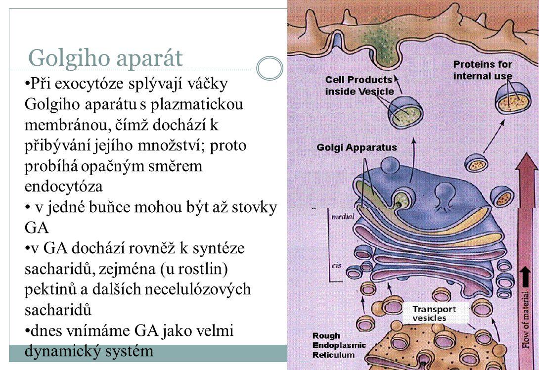 Golgiho aparát Při exocytóze splývají váčky Golgiho aparátu s plazmatickou membránou, čímž dochází k přibývání jejího množství; proto probíhá opačným