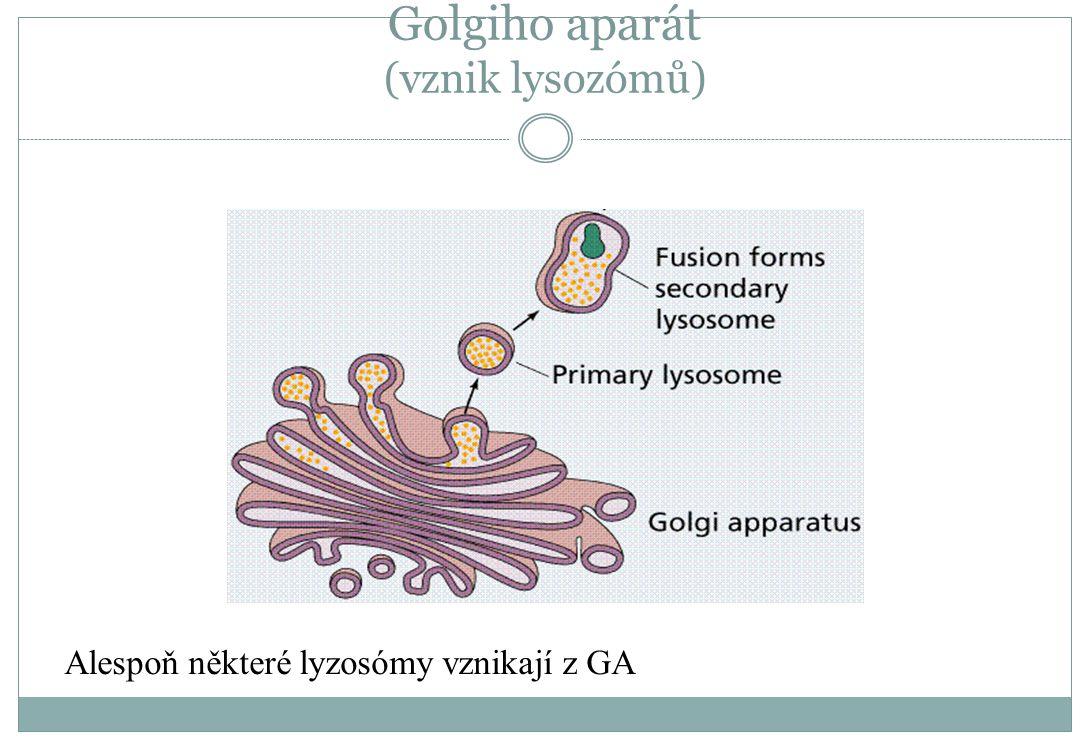 Golgiho aparát (vznik lysozómů) Alespoň některé lyzosómy vznikají z GA