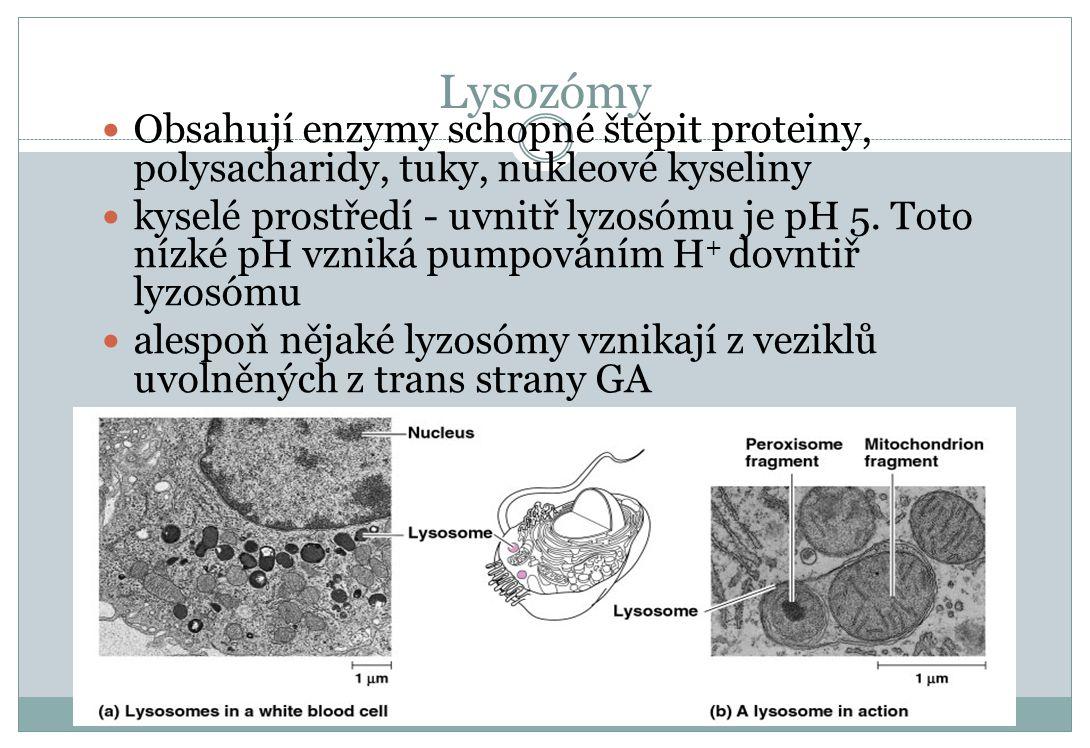 Lysozómy Obsahují enzymy schopné štěpit proteiny, polysacharidy, tuky, nukleové kyseliny kyselé prostředí - uvnitř lyzosómu je pH 5. Toto nízké pH vzn