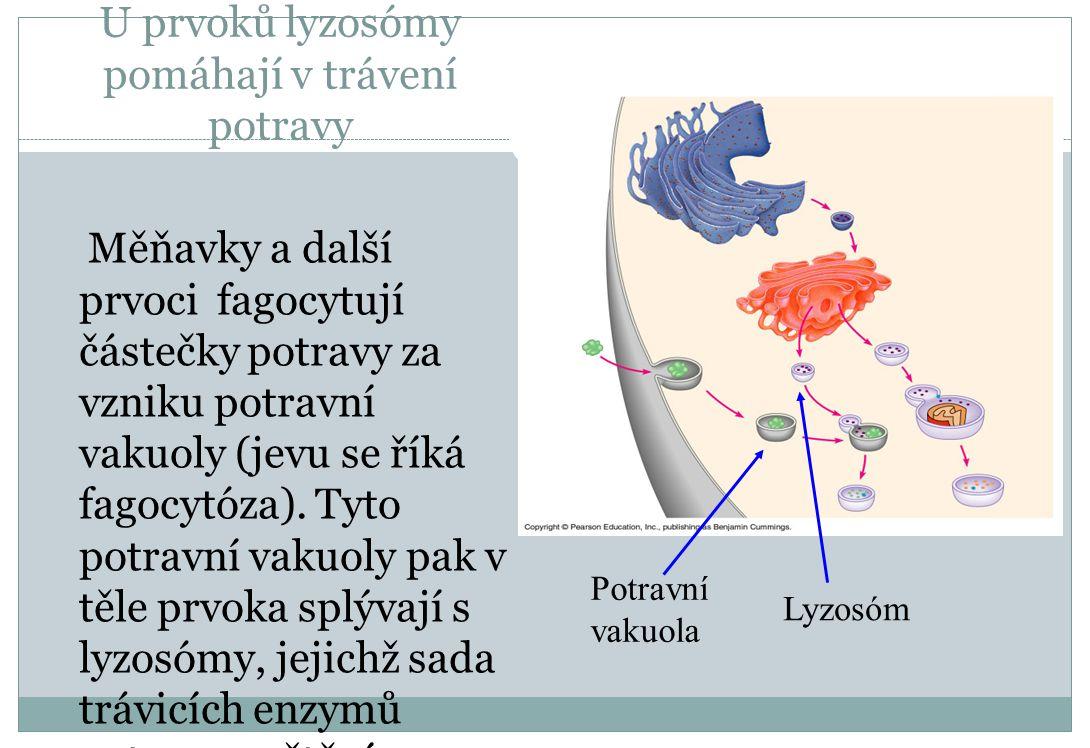 U prvoků lyzosómy pomáhají v trávení potravy Měňavky a další prvoci fagocytují částečky potravy za vzniku potravní vakuoly (jevu se říká fagocytóza).