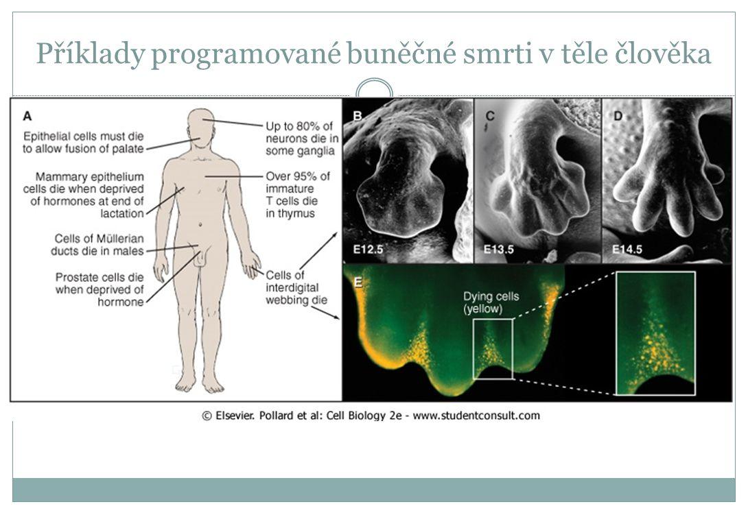 Příklady programované buněčné smrti v těle člověka