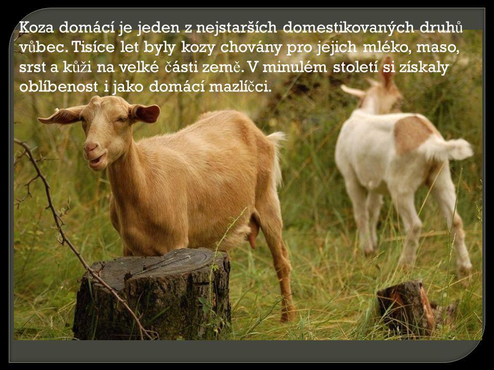 Koza domácí je jeden z nejstarších domestikovaných druh ů v ů bec. Tisíce let byly kozy chovány pro jejich mléko, maso, srst a k ůž i na velké č ásti
