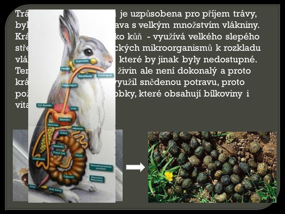 Trávící soustava králík ů je uzp ů sobena pro p ř íjem trávy, bylin a list ů, co ž je potrava s velkým mno ž stvím vlákniny. Králík tráví podobn ě jak