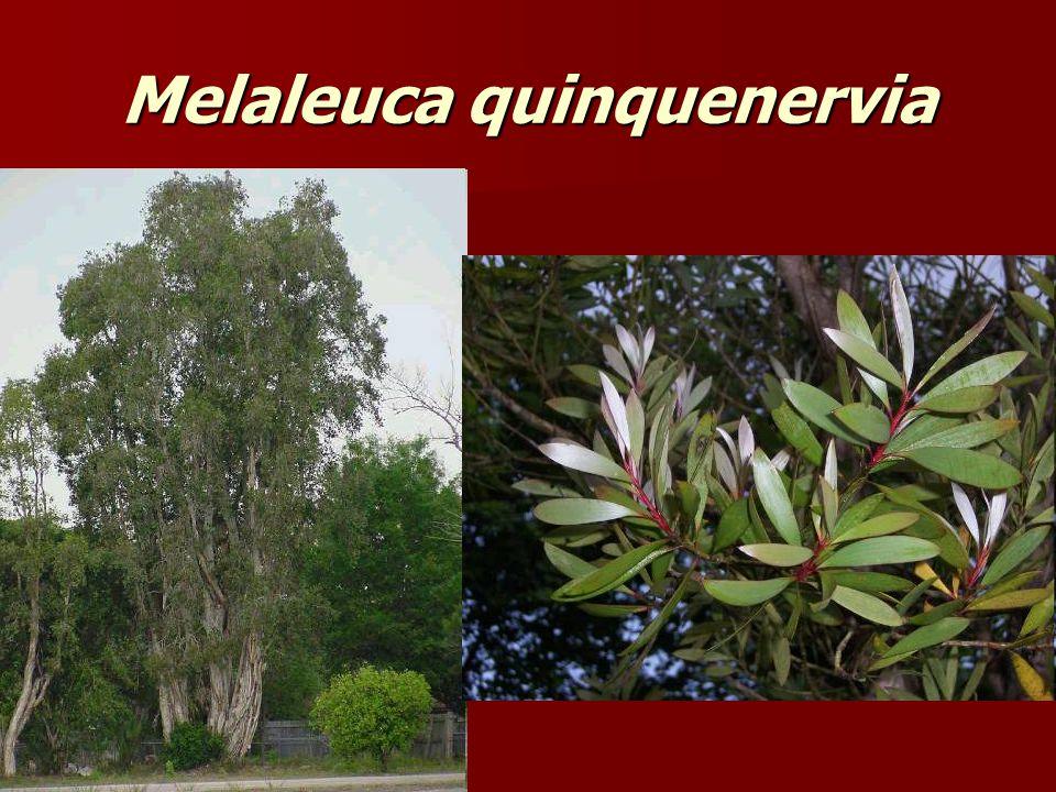 Melaleuca quinquenervia