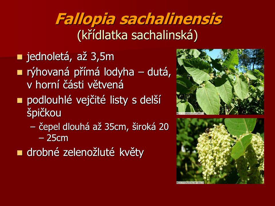 Fallopia sachalinensis (křídlatka sachalinská) jednoletá, až 3,5m jednoletá, až 3,5m rýhovaná přímá lodyha – dutá, v horní části větvená rýhovaná přím