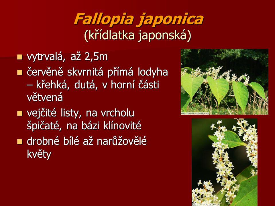 Fallopia japonica (křídlatka japonská) vytrvalá, až 2,5m vytrvalá, až 2,5m červěně skvrnitá přímá lodyha – křehká, dutá, v horní části větvená červěně