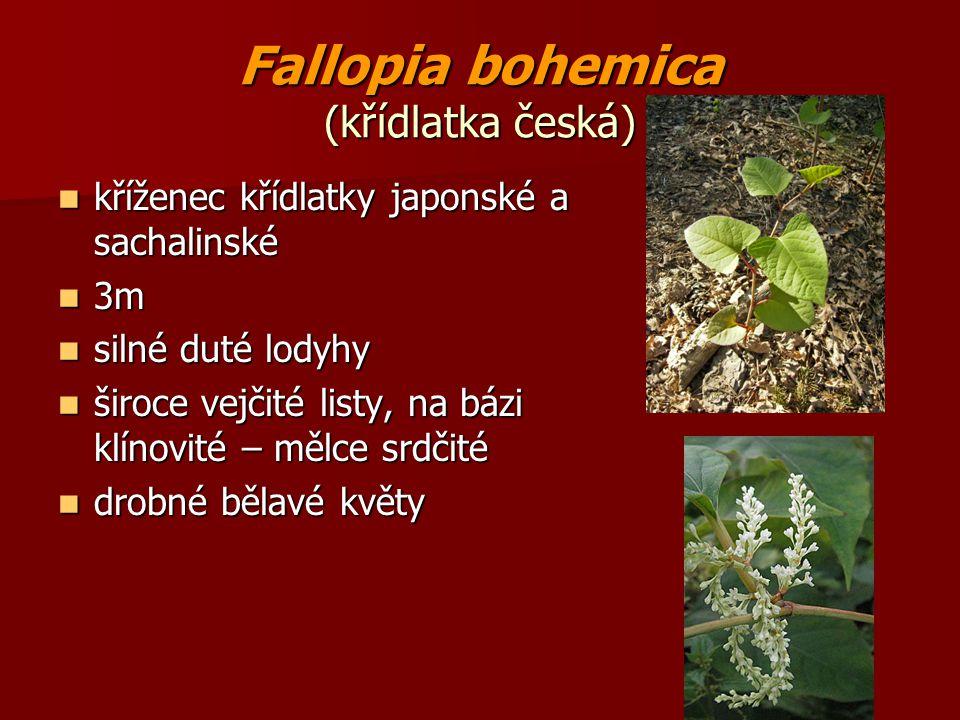 Fallopia bohemica (křídlatka česká) kříženec křídlatky japonské a sachalinské kříženec křídlatky japonské a sachalinské 3m 3m silné duté lodyhy silné