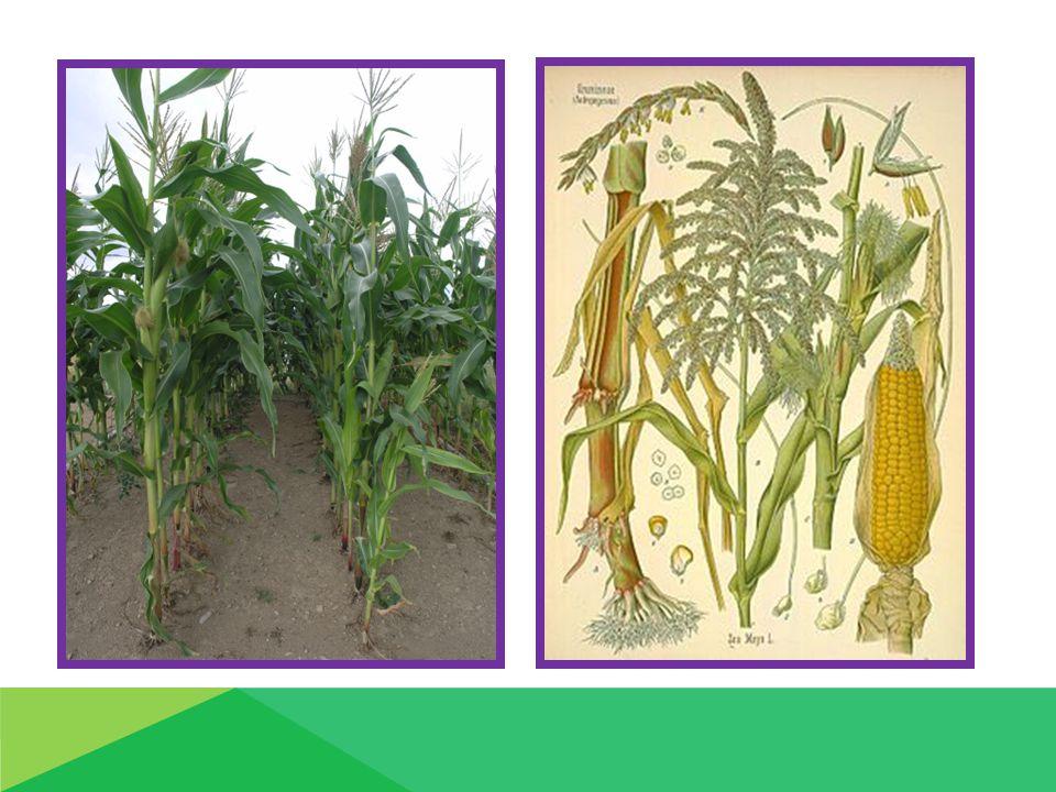 Hospodářský význam 1.Krmivářství – a) zrno - jadrné krmivo, šrot - krmení HZ, komponent krmných směsí ( prasata, drůbež ) b) zelená hmota - přímé zkrmování ( skot ) - siláž 2.Potravinářství - zrno - kukuřičná mouka, krupice - corn- flake 3.Průmyslová surovina - pivo, alkohol, škrob ( Maizena ) 4.