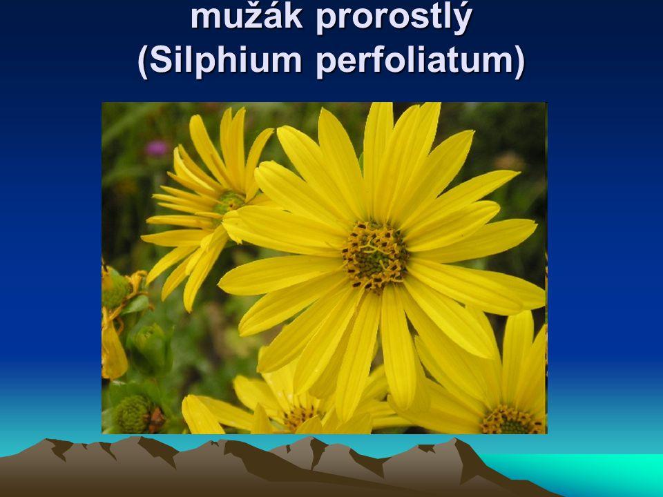 mužák prorostlý (Silphium perfoliatum)