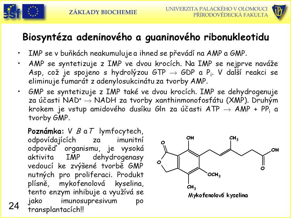 Biosyntéza adeninového a guaninového ribonukleotidu IMP se v buňkách neakumuluje a ihned se převádí na AMP a GMP. AMP se syntetizuje z IMP ve dvou kro