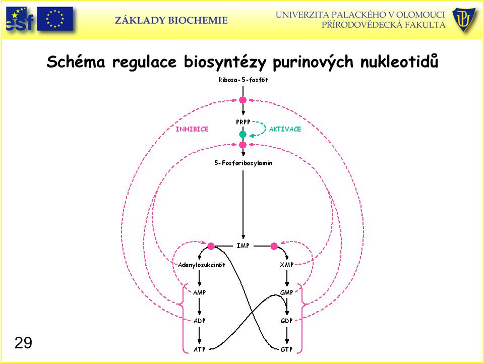 Schéma regulace biosyntézy purinových nukleotidů 29